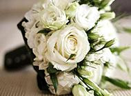纯洁高贵的白玫瑰高清壁纸