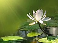 池中的白莲花图片赏析