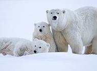 三只可爱的北极熊图片