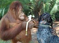 搞笑动物图片之快来吃香蕉