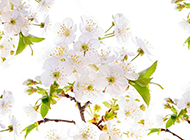 唯美白色梨花图片欣赏