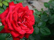 娇红欲流的红玫瑰图片欣赏