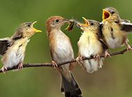 枝头上可爱的小麻雀图片