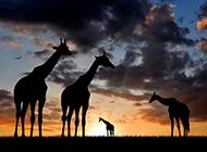 非洲大草原的动物剪影图片
