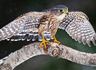 中小型鸟类猛禽红隼图片