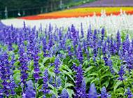 梦幻清新的紫色薰衣草花海图片