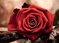 朽木上的红玫瑰高清图片素材
