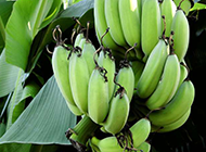 树上挂着的青香蕉图片