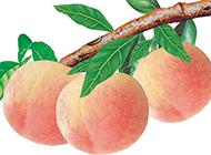中秋节成熟的桃子图片素材