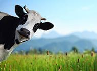 草原上可爱的奶牛图片