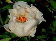雨后的白色牡丹花图片