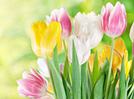 绿色清新郁金香背景图片
