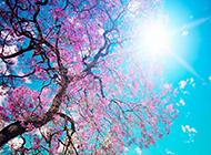 粉嫩的日本樱花唯美花卉壁纸图片