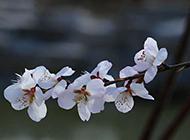 蓝天下盛放的粉色桃花图片