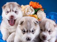 篮子里超可爱的小狗狗图片