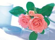 带叶子的粉玫瑰图片素材