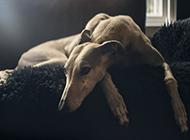室内忧郁的狗狗摄影图片