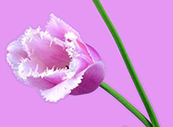 清新的淡粉色郁金香图片背景素材