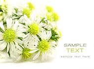 纯白无暇的菊花图片素材