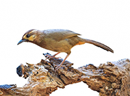 枝头上快乐的小鸟图片素材