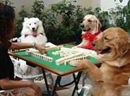 狗狗卖萌动物搞怪图片之牌瘾犯了