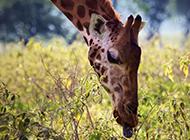 自然界可爱的长颈鹿高清图片