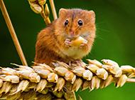 偷吃粮食的可爱中华小田鼠图片