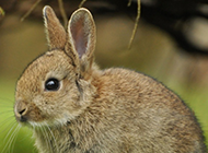 灰色的小兔子高清摄影图片