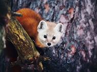 可爱的野生貂鼠图片