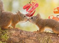 树枝上的松鼠动物亲吻图片
