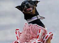穿裙子的狗狗搞笑图片
