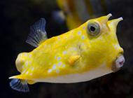 可爱的黄色斑点小鱼图片