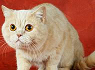 眼神呆萌可爱的白色英短猫图片