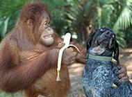 哥请你吃香蕉搞笑动物图片