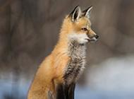 孤独的狐狸高清大图