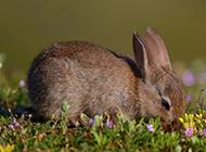 草地上灰色的小兔子高清图片