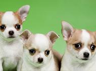 三只可爱的吉娃娃小狗图片