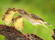 嘴对嘴喂食的鸟类动物图片