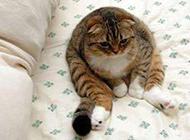 超级肥的猫搞笑图片