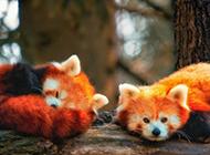 趴着的可爱小熊猫图片