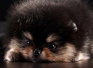 肉嘟嘟的可爱小泰迪狗狗图片