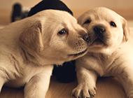 两只可爱的小金毛狗图片