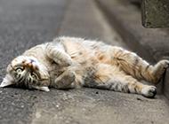 躺在地上卖萌的猫咪图片