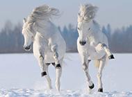雪地上奔跑的白马图片