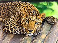眼神犀利凶猛的非洲花豹图片