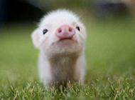 史上最萌的猪搞笑动物图