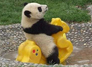 可爱搞笑的熊猫动物图片