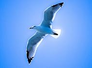 蓝色天空中飞翔的鸟图片