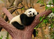 在树枝上睡觉的熊猫图片