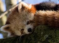 超呆萌小浣熊可爱动物壁纸